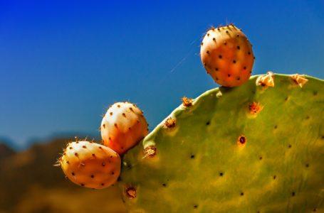 De cactusvijg; goed bij vitamine-A tekort