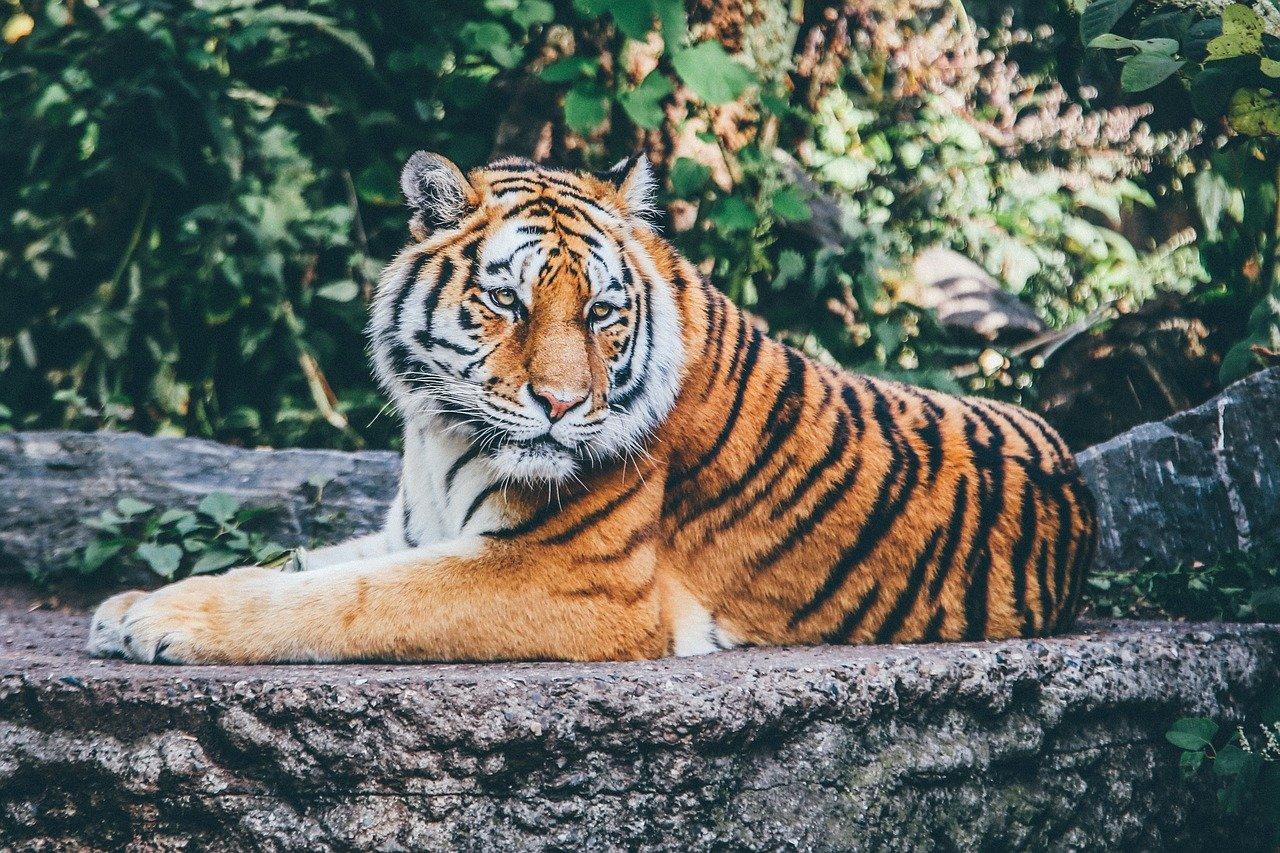 Soorten tijgers