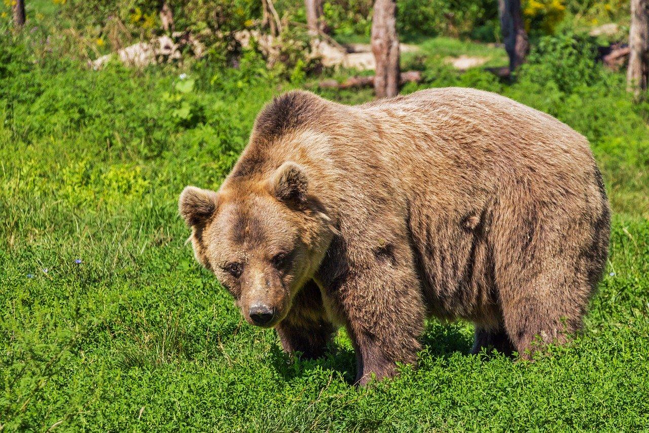 Beren soorten bruine beer