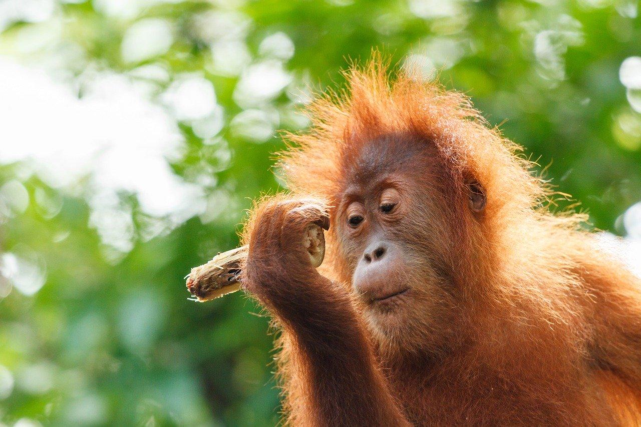 Oran oetan aap intelligent