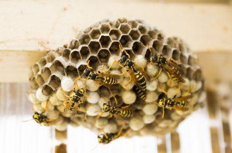 Help, een wespennest!