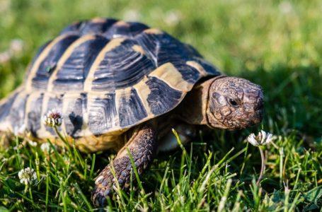 De Griekse landschildpad