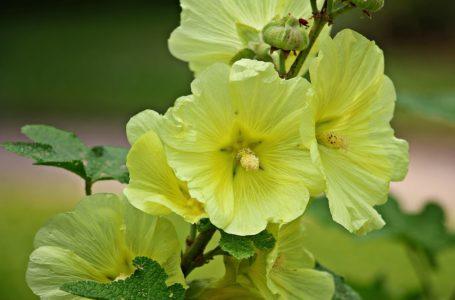 Stokroos; mysterieuze, veelzijdige bloem